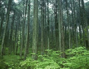 木曽ひのき 大桑村 5月 長野県の写真素材 [FYI04014992]