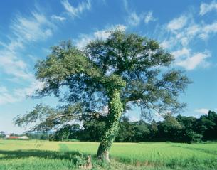 雲と木と田圃の写真素材 [FYI04016817]