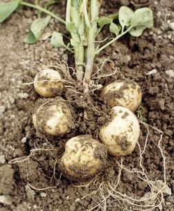 土まみれのジャガイモ一株の写真素材 [FYI04016833]
