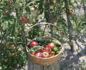 トマトの苗と収穫した夏野菜の写真素材 [FYI04016837]