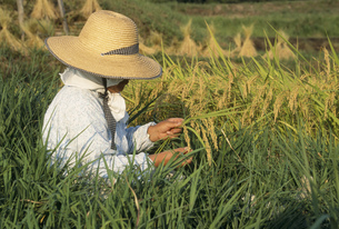 稲を見る女性の写真素材 [FYI04016857]