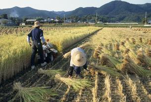 バインダーでの稲刈りの写真素材 [FYI04016858]