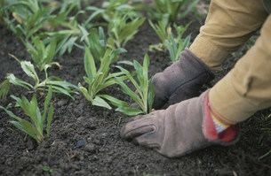 苗を植えるの写真素材 [FYI04016879]