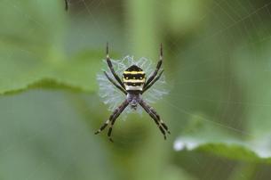 鬼蜘蛛の写真素材 [FYI04016888]