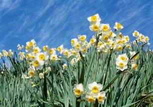 水仙の花(野生) 群生の写真素材 [FYI04016935]