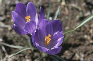 2輪のクロッカスの花の写真素材 [FYI04017013]