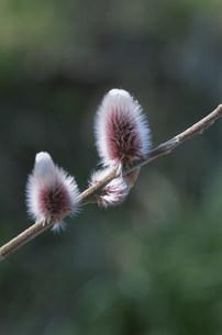 2輪のネコヤナギの花の写真素材 [FYI04017023]