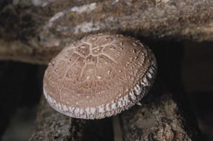 シイタケの笠の表の写真素材 [FYI04017045]