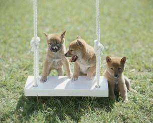 柴犬の写真素材 [FYI04017471]