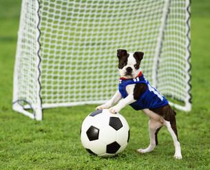 ユニフォーム姿でサッカーをするボストン・テリアの写真素材 [FYI04018236]