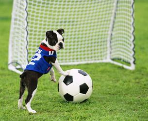 ユニフォーム姿でサッカーをするボストン・テリアの写真素材 [FYI04018237]