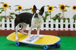 スケートボードに乗るボストンテリアの写真素材 [FYI04018536]