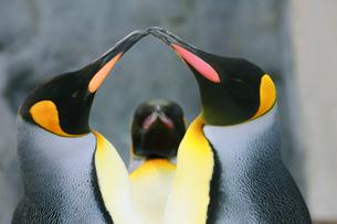 ペンギンの写真素材 [FYI04018566]