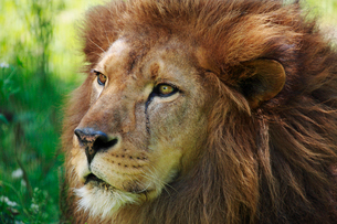 ライオンの写真素材 [FYI04018579]