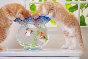 金魚鉢をのぞきこむ2匹のネコの写真素材 [FYI04018669]
