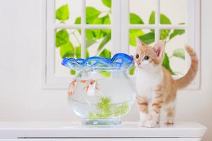 金魚と子ネコの写真素材 [FYI04018670]