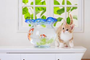 金魚と子ネコの写真素材 [FYI04018671]