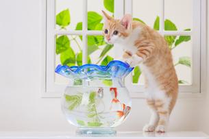 金魚と子ネコの写真素材 [FYI04018672]
