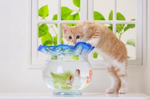 金魚と子ネコの写真素材 [FYI04018673]