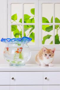 金魚と子ネコの写真素材 [FYI04018674]