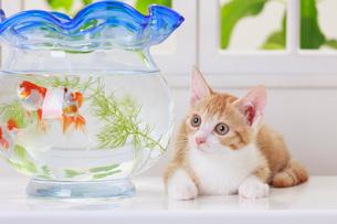 金魚と子ネコの写真素材 [FYI04018675]