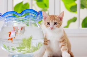 金魚と子ネコの写真素材 [FYI04018676]