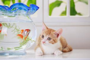 金魚と子ネコの写真素材 [FYI04018677]