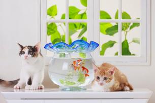 金魚と2匹の子ネコの写真素材 [FYI04018678]