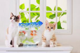 金魚と2匹の子ネコの写真素材 [FYI04018679]