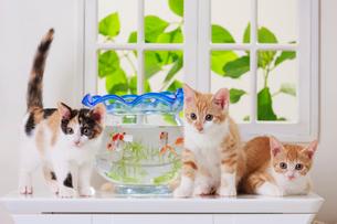 金魚と3匹の子ネコの写真素材 [FYI04018680]