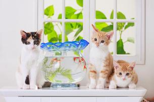 金魚と3匹の子ネコの写真素材 [FYI04018681]