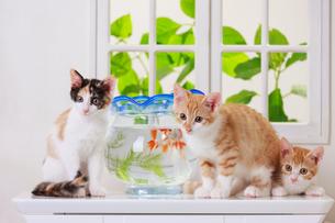 金魚と3匹の子ネコの写真素材 [FYI04018682]