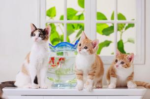 金魚と3匹の子ネコの写真素材 [FYI04018683]