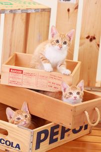 木箱に入った3匹の子ネコの写真素材 [FYI04018692]