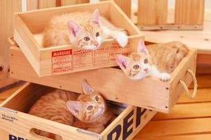 木箱に入った3匹の子ネコの写真素材 [FYI04018693]