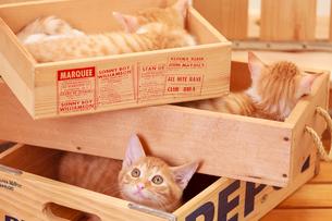 木箱に入った3匹の子ネコの写真素材 [FYI04018695]