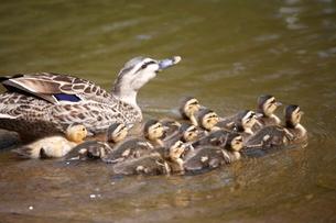 池を泳ぐカモの親子の写真素材 [FYI04018717]