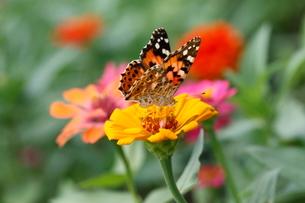 花の蜜を吸うチョウの写真素材 [FYI04018739]