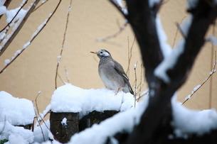 雪の中のムクドリの写真素材 [FYI04018740]