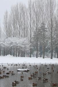 雪景色の公園とカモの写真素材 [FYI04018747]