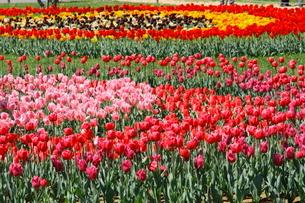 色とりどりのチューリップ畑の写真素材 [FYI04018758]