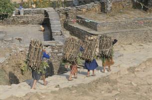 燃料の木を運ぶ少女たちの写真素材 [FYI04019013]