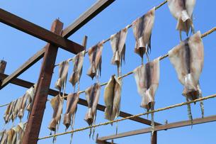 イカのカーテンの写真素材 [FYI04019301]