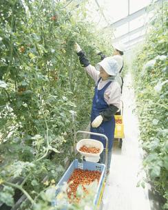 ミニトマト水耕栽培の写真素材 [FYI04019410]