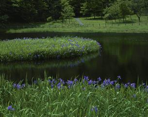 姫逃池のカキツバタ咲く6月  鳥取県の写真素材 [FYI04019859]