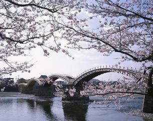 桜と錦帯橋 岩国市の写真素材 [FYI04019869]