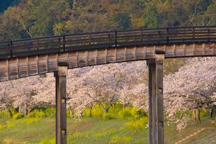 桜と錦帯橋の写真素材 [FYI04019933]