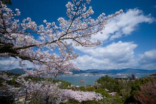 桜と宮島 大鳥居の写真素材 [FYI04019942]