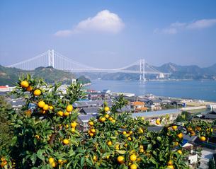 みかんと因島大橋の写真素材 [FYI04020339]