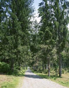 笹ヶ峰のドイツトウヒ林の写真素材 [FYI04020674]
